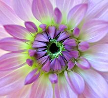 Dahlia by Tiffany Dryburgh