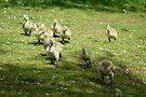 Young Canadian Goslings by davesphotographics