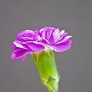 Carnation by Nala