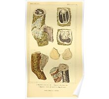 The Animal Kingdom by Georges Cuvier, PA Latreille, and Henry McMurtrie 1834  263 - Mollusca Mollusks Poster