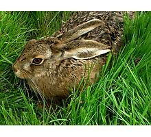 The Hare Photographic Print