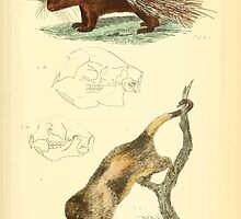 The Animal Kingdom by Georges Cuvier, PA Latreille, and Henry McMurtrie 1834 609 - Mammalia Mammals by wetdryvac