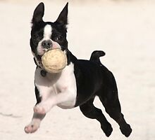 Well-trained Boston Terrier