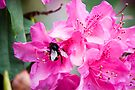 Beeeeautiful in Rhododendrons by DonDavisUK