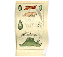 The Animal Kingdom by Georges Cuvier, PA Latreille, and Henry McMurtrie 1834  229 - Mollusca Mollusks Poster