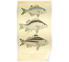 The Animal Kingdom by Georges Cuvier, PA Latreille, and Henry McMurtrie 1834  061 - Pisces Fish Poster