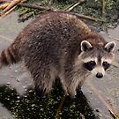 Wild Baby Racoon by TRussotto