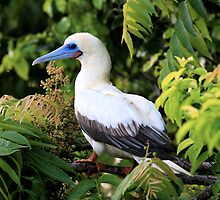 Red-Footed Booby by Gina Ruttle  (Whalegeek)
