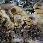 Goslings In A Huddle by Joanne  Bradley