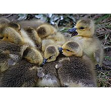 Goslings In A Huddle Photographic Print