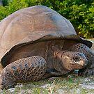 Giant Aldabra Tortoise by Gina Ruttle  (Whalegeek)