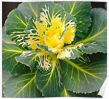 Cabbage Plant Poster