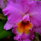 Pink Orchid by Susan van Zyl