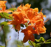 orange azalia by MitchellGallery