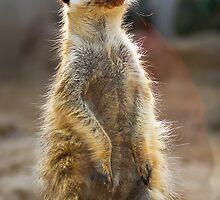 Meerkat Sentinel by RatManDude