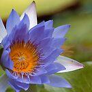 Waterlilly by Janine  Hewlett