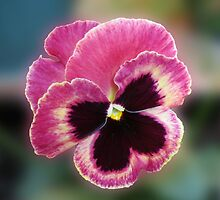 Cute Little Pansy Face by kathrynsgallery