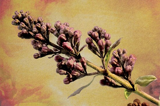 Lilac by Scott Ruhs