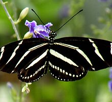 Zebra Longwing Butterfly by Rosalie Scanlon
