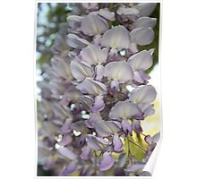 Beautiful Wisteria Blooms Poster