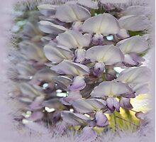 Beautiful Wisteria Blooms by taiche