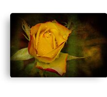 Rose After the Rain Canvas Print