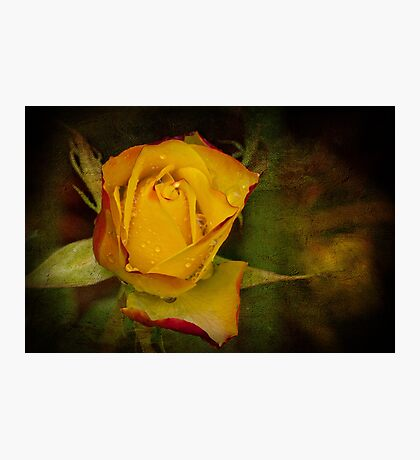 Rose After the Rain Photographic Print
