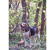 Special Foxhound Photographic Print