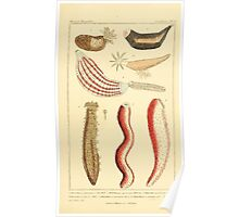 The Animal Kingdom by Georges Cuvier, PA Latreille, and Henry McMurtrie 1834  538 - Zoophytes Plant-Like Animals Poster
