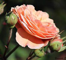 Peach Rose by Samantha Van Der Merwe