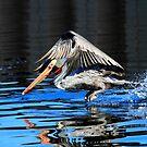 Pelican Water Take Off by DARRIN ALDRIDGE