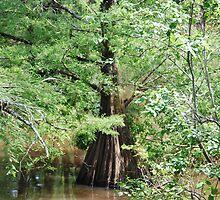 Louisiana Cypress by Marlo510