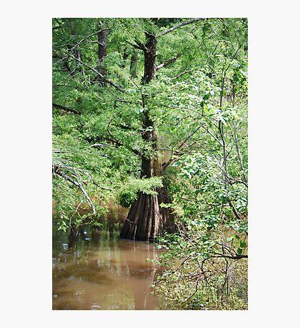 Louisiana Cypress Photographic Print