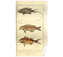 The Animal Kingdom by Georges Cuvier, PA Latreille, and Henry McMurtrie 1834  050 - Pisces Fish Poster