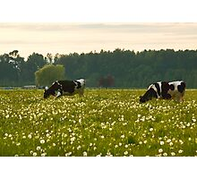 Happy Cows! Photographic Print
