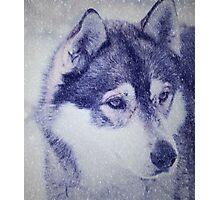 Beautiful husky dog portrait Photographic Print