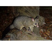 Brush Tailed Possum Photographic Print