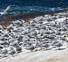Greater Crested Terns by David Clarke
