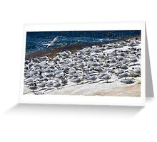 Greater Crested Terns Greeting Card