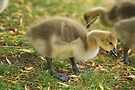 Young Canadian Gosling 4 by davesphotographics