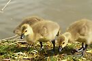 Young Canadian Gosling 5 by davesphotographics