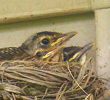Baby Robins by CynLynn