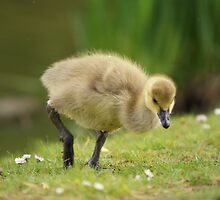 Young Canadian Gosling 8 by davesphotographics