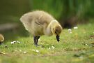 Young Canadian Gosling 11 by davesphotographics