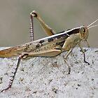 Red Locust by RatManDude