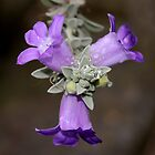 Eremophila mackinlayi ssp spathulata by Christopher Clarke