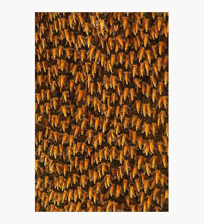 Honeybees Photographic Print