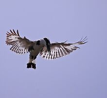 PIED KINGFISHER by Marieseyes