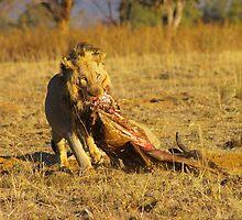 Lion Feeding by Riaan van der Merwe