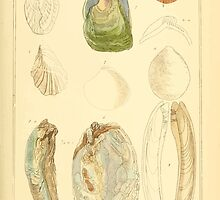 The Animal Kingdom by Georges Cuvier, PA Latreille, and Henry McMurtrie 1834  262 - Mollusca Mollusks by wetdryvac